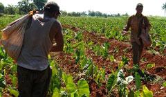 Fortalece la agricultura orgánica la sociedad rural, trasciende en Villa Clara